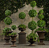 Live English Ivy Topiaries