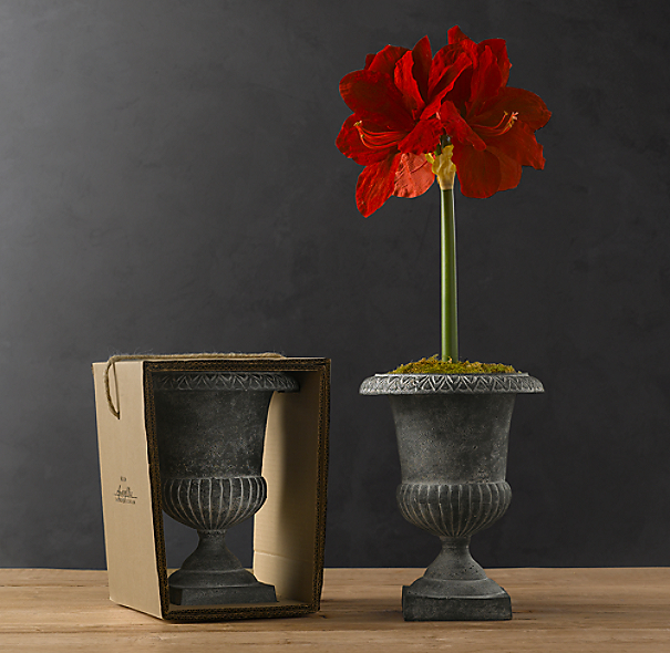 Classic Urn Red Lion Amaryllis Bulb Kit
