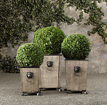 Ball Live Boxwood Topiary